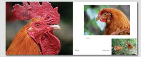 images of chickens from the book, Ninety-Five