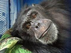 CJ the chimp. Photo by Bill Roe. Courtesy of Las Vegas CityLife.