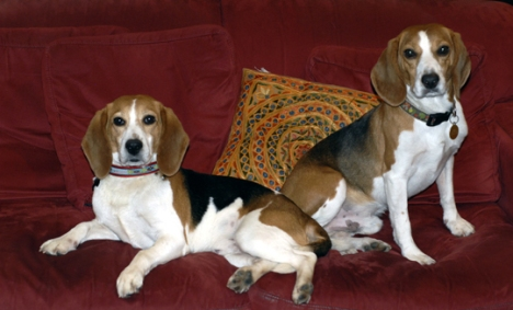Gary Smith and his rescued beagles