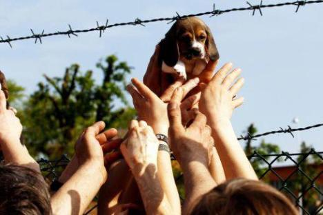 freeing beagle puppies in Italy
